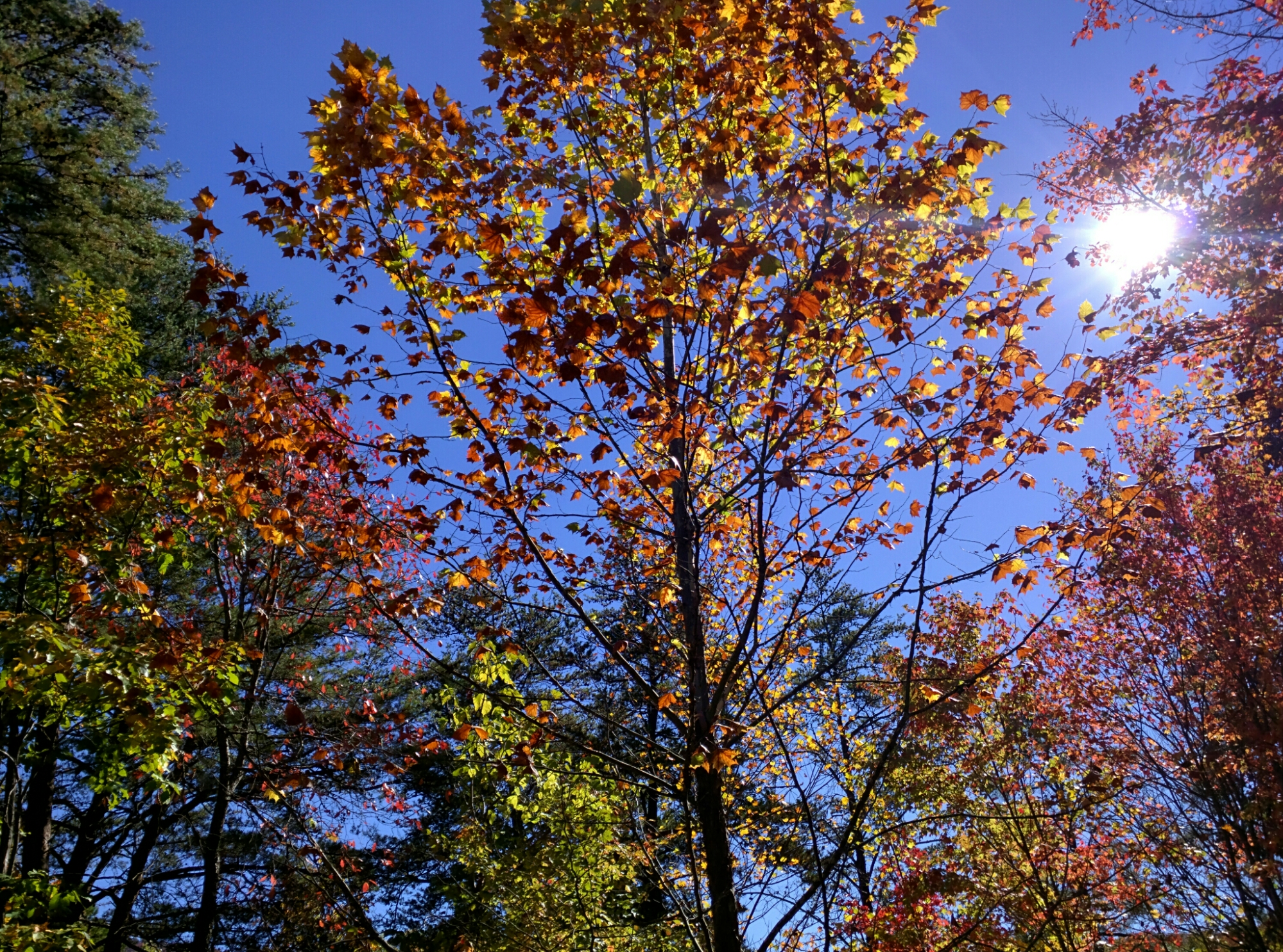 A tree in autumn. Yellow leaves against a clear blue sky.