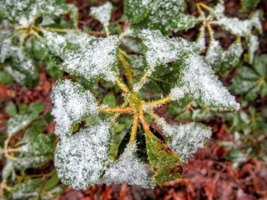 Snow-covered laurel leaves