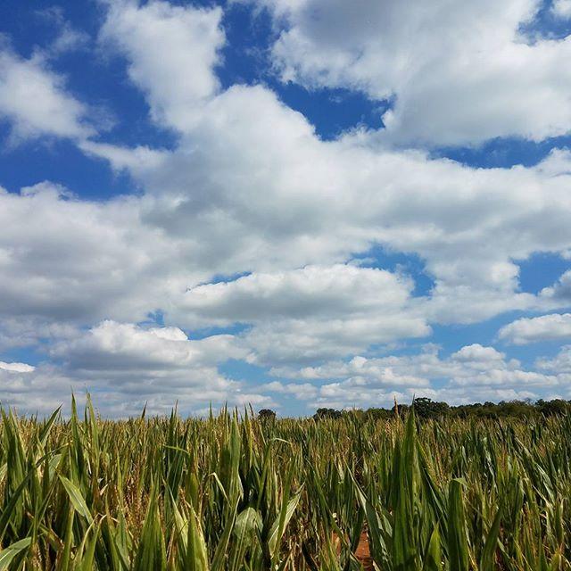 Corn maze day!
